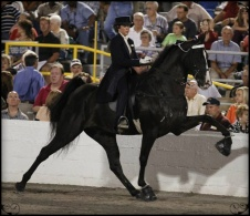"Tennessee Walker Horse - Highly Artificial ""Big Lick"" Movement"