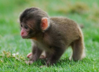 threeweekold-japanese-macaque-in-scottish-wildlife-park.jpeg