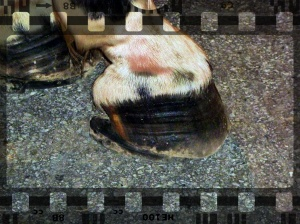 Atlanta Carriage Horse - shoe needs reset