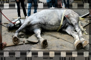 "Salt Lake City carriage horse Jerry colics while at work and is unable to rise. Later, he became the subject of a ""bait and switch"" campaign by the owners, who substituted another horse as him, and concealed his death for several weeks until challenged as to his whereabouts."