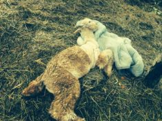 "Deceased alpaca on Nakhuda's ""sanctuary"""